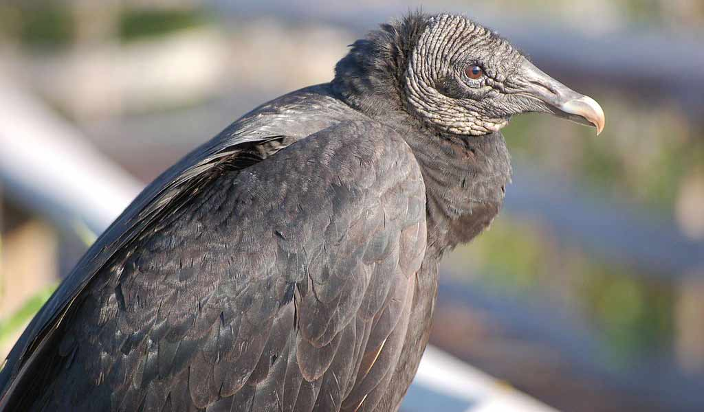 Auctions In Ohio >> Black vulture kills increasing in Ohio - Farm and Dairy