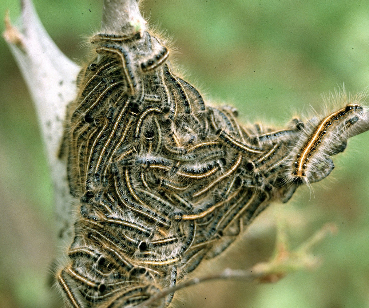 Horse owners should watch for eastern tent caterpillars & Horse owners should watch for eastern tent caterpillars - Farm and ...
