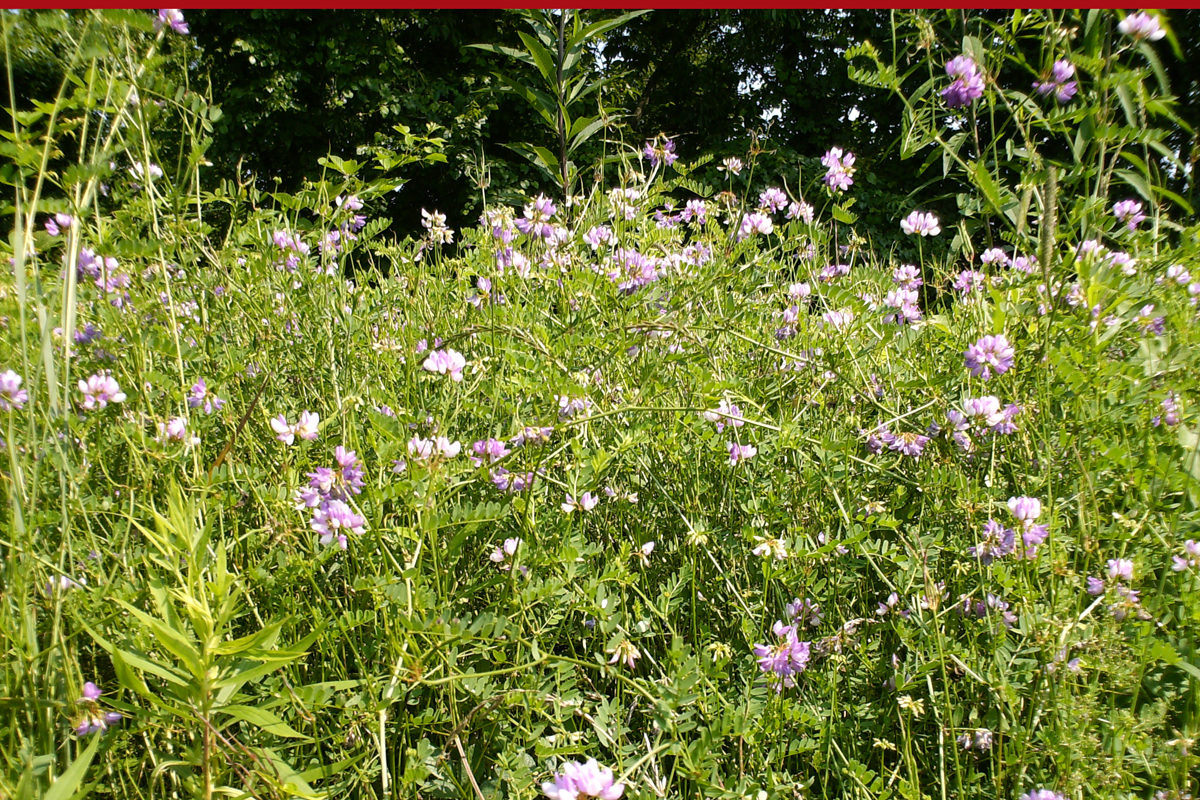 Crown vetch ok for most livestock but can cause problems for horses crown vetch ok for most livestock but can cause problems for horses farm and dairy izmirmasajfo