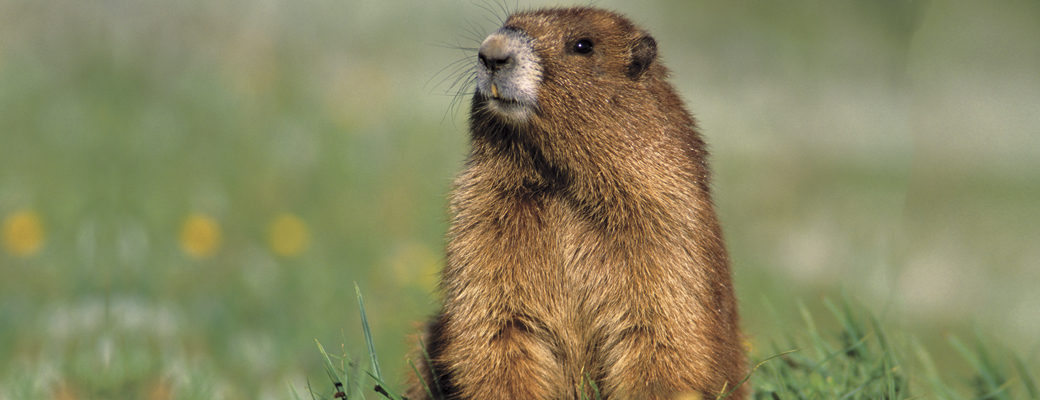 groundhog s day why exactly do groundhogs hibernate farm and dairy