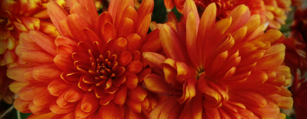 How to overwinter perennial flowers farm and dairy rust colored mums perennials are the low maintenance mightylinksfo
