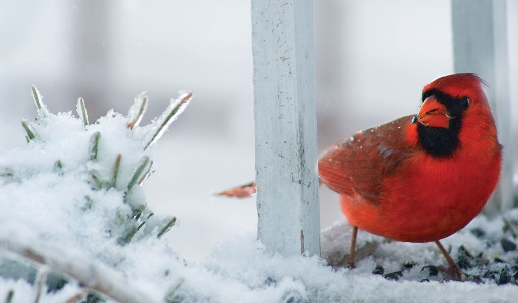 Cold Weather Brings Out The Cardinals Farm And Dairy