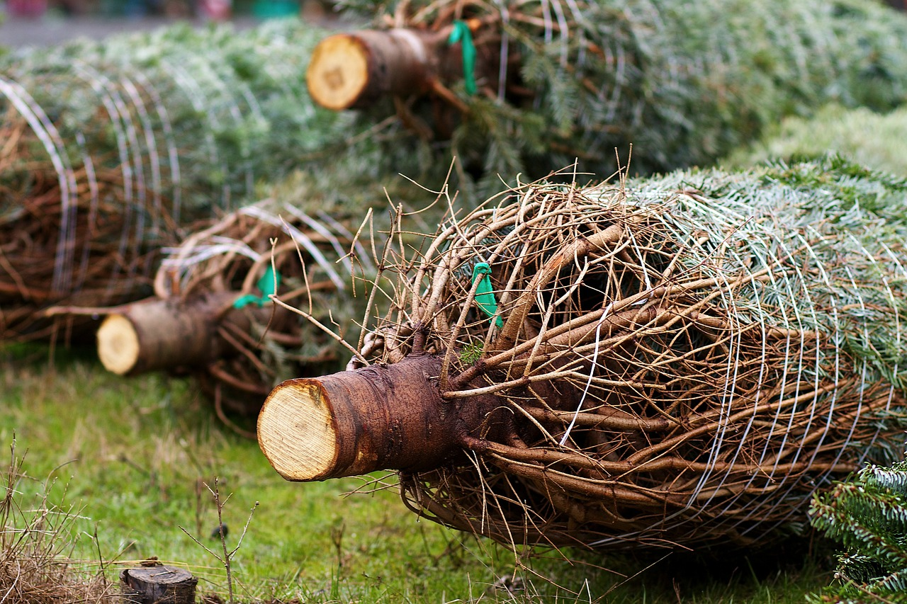 How to take care of your Christmas tree - Farm and Dairy