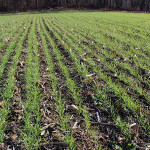 uncovered wheat