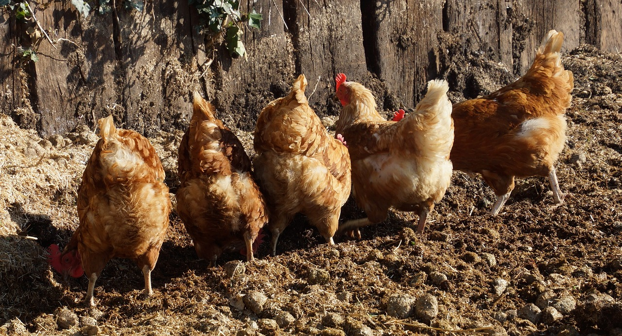 Interest In Raising Backyard Chickens Continues To Grow Among Hobby  Farmers, Homesteaders And Suburbanites, Alike. As Consumers Have Become  More And More ...