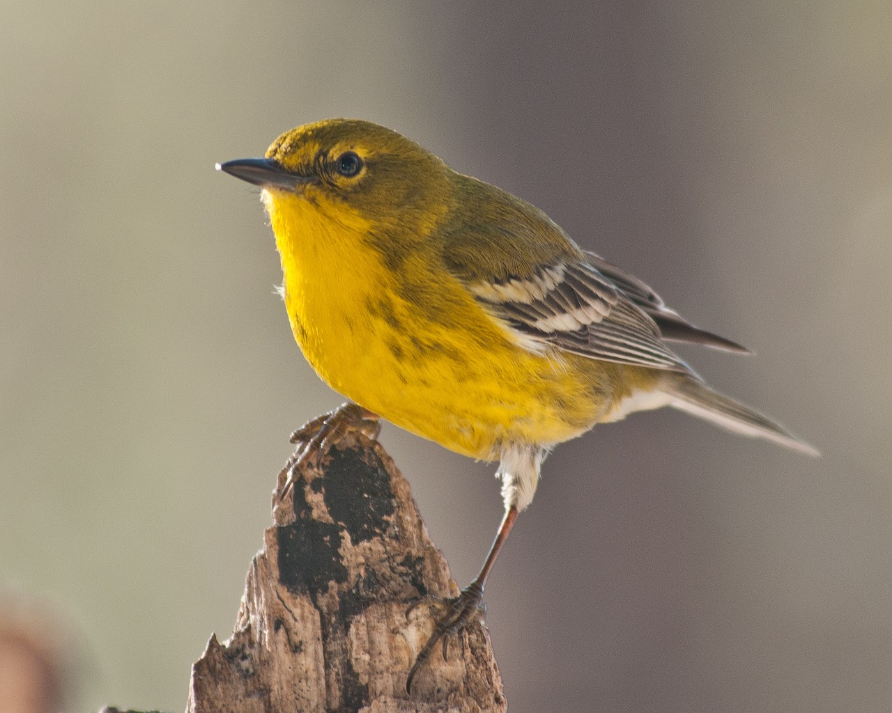 Auctions In Ohio >> How to identify warblers this season - Farm and Dairy