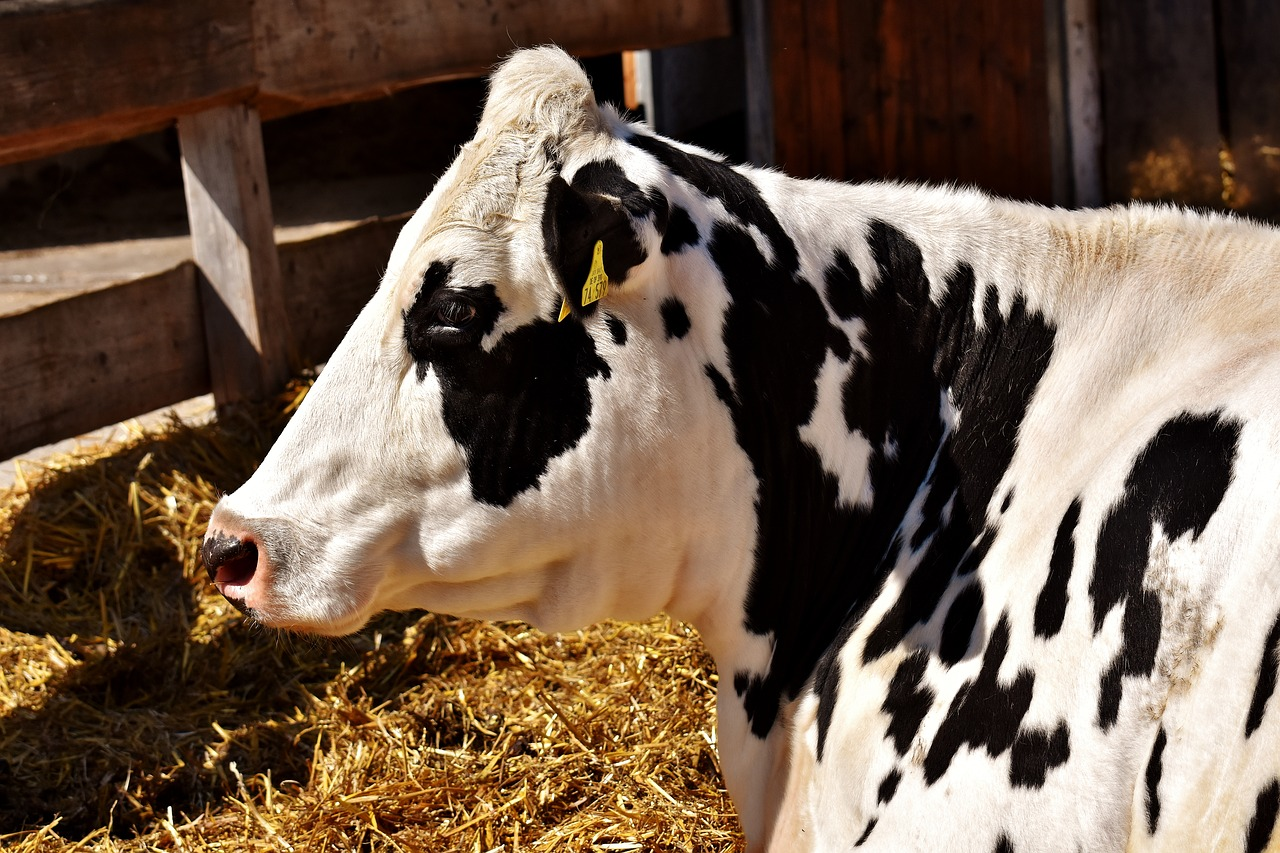 7 Tips For Healthy Fair Animals Farm And Dairy