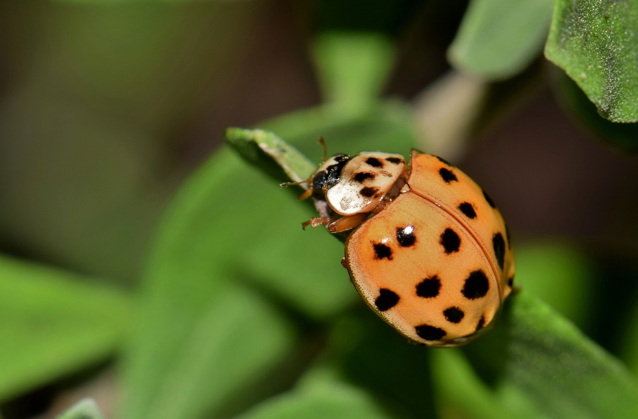 . How to keep Asian Lady Beetles out of your house   Farm and Dairy