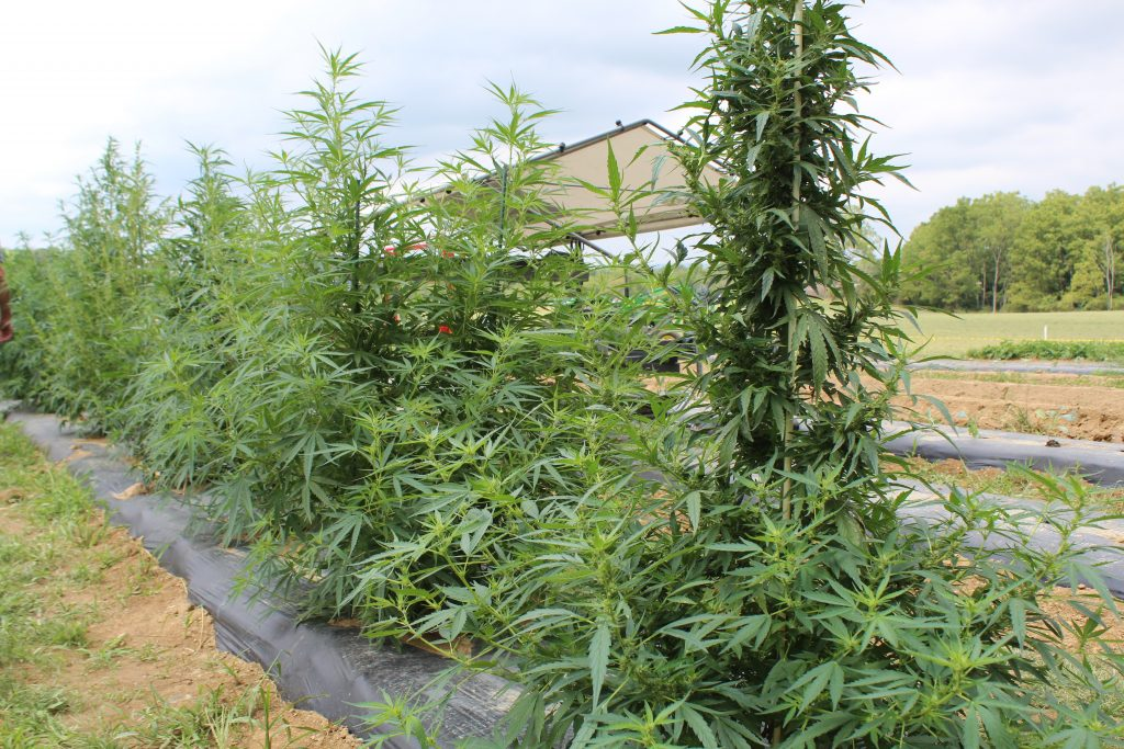 Under 200 Applied To Grow Hemp In Ohio Industry Not Surprised Farm And Dairy