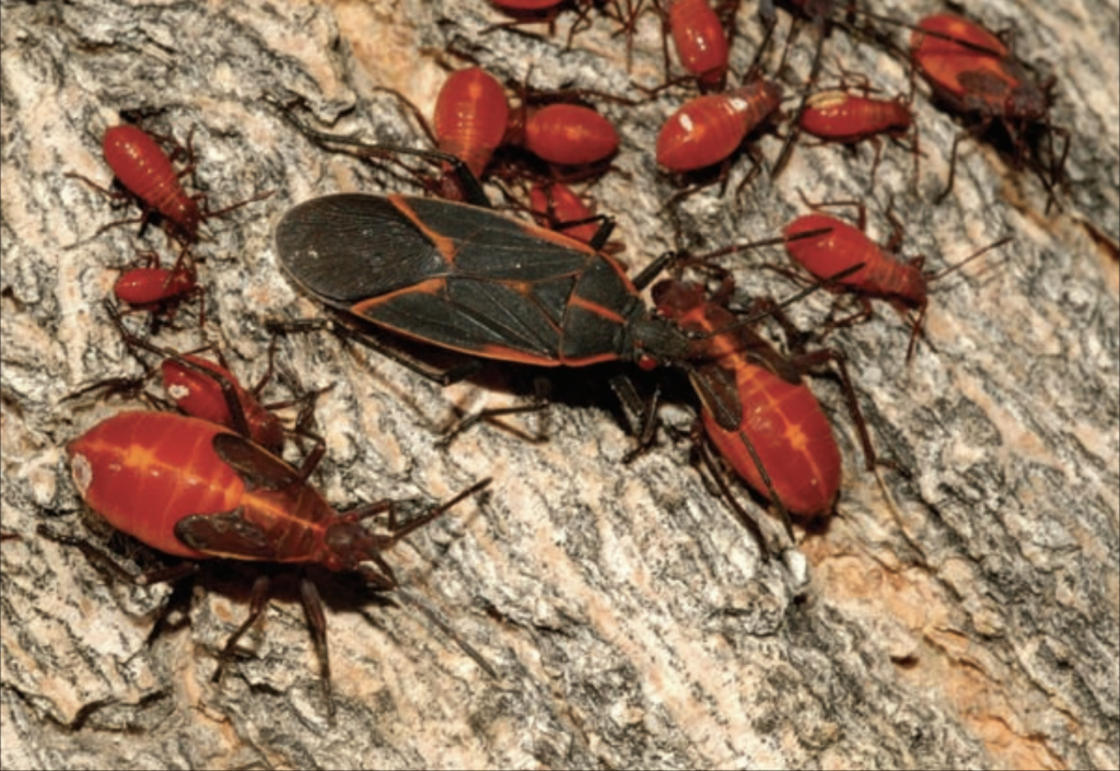 Why And How You Should Control Boxelder Bugs