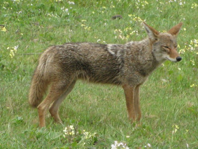 a coyote standing in the grass.
