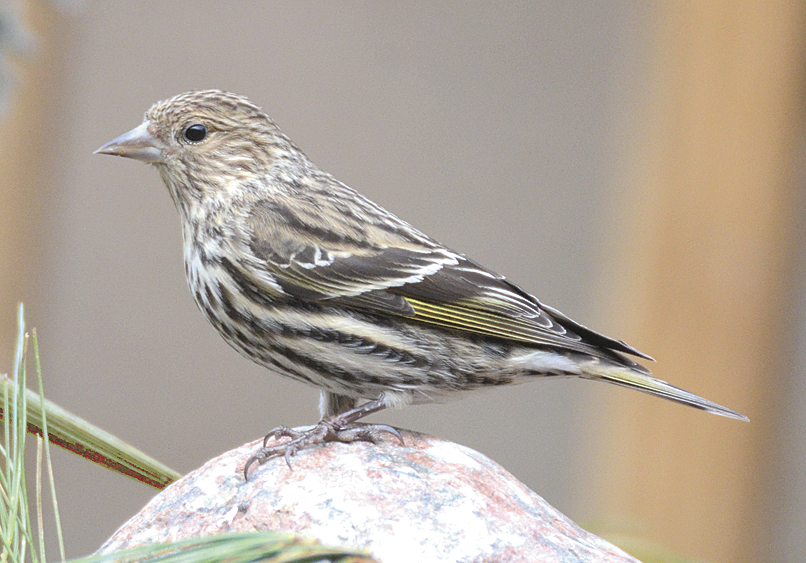 Ohio Is The New Home Of Rare Boreal Songbirds Farm And Dairy