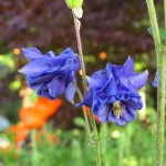 Photo of columbine