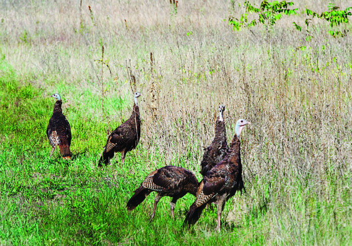 photo of turkeys