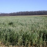 Late-planted oats in December