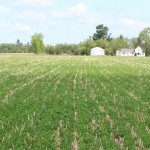 Cover crops field