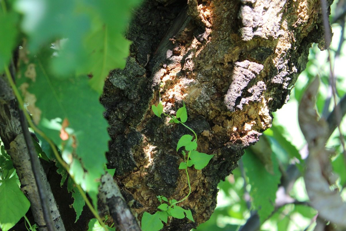 chestnut tree with blight
