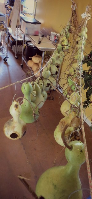 Growing gourds