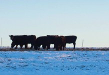 cattle grazing in snow