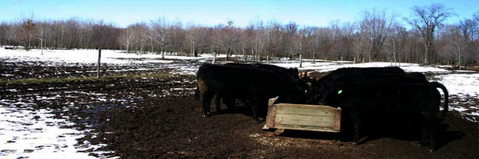 cows at trough during the winter