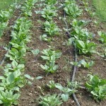 Early spinach growing at Fichter Farm, Minerva, OH