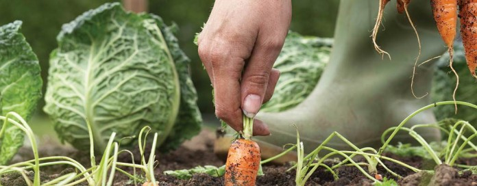 carrots and cabbage in garden