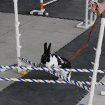 Competitive rabbit hopping/Farm and Dairy/Rebecca Miller photo