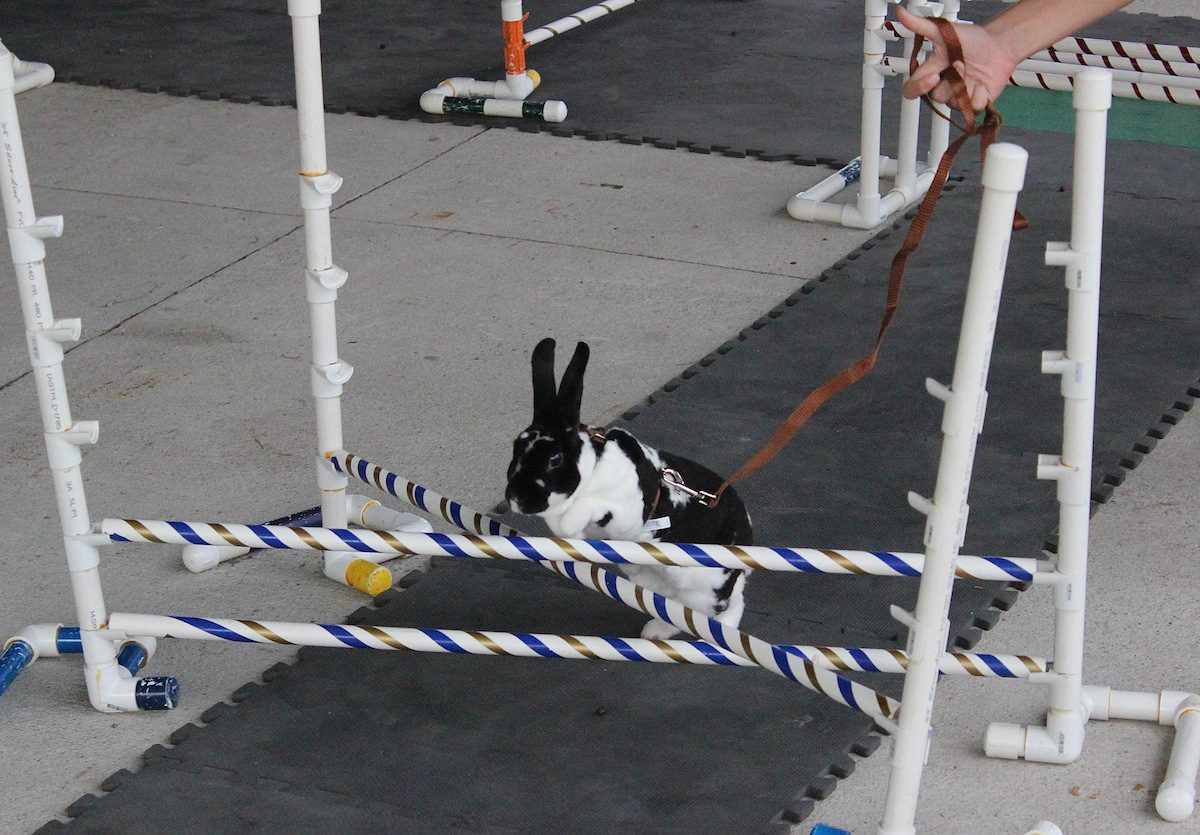 Jefferson County Fair 2015 Rabbit Hopping