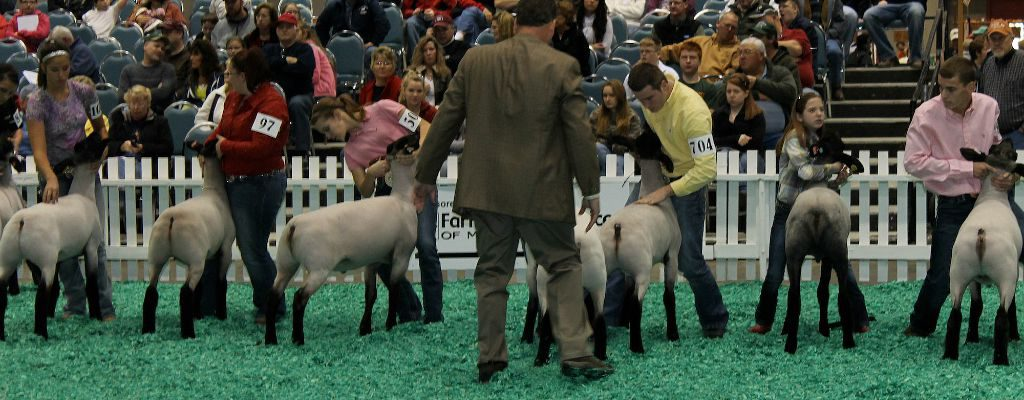 NAILE sheep judging