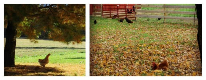 chickens in fall