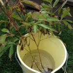 divided peonies soaking in bucket