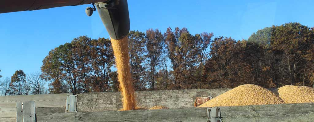 harvesting and pouring corn