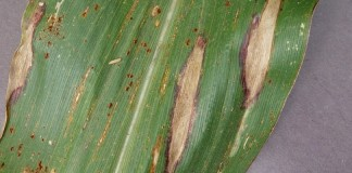 Northern leaf blight in corn