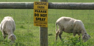 Organic sheep farm