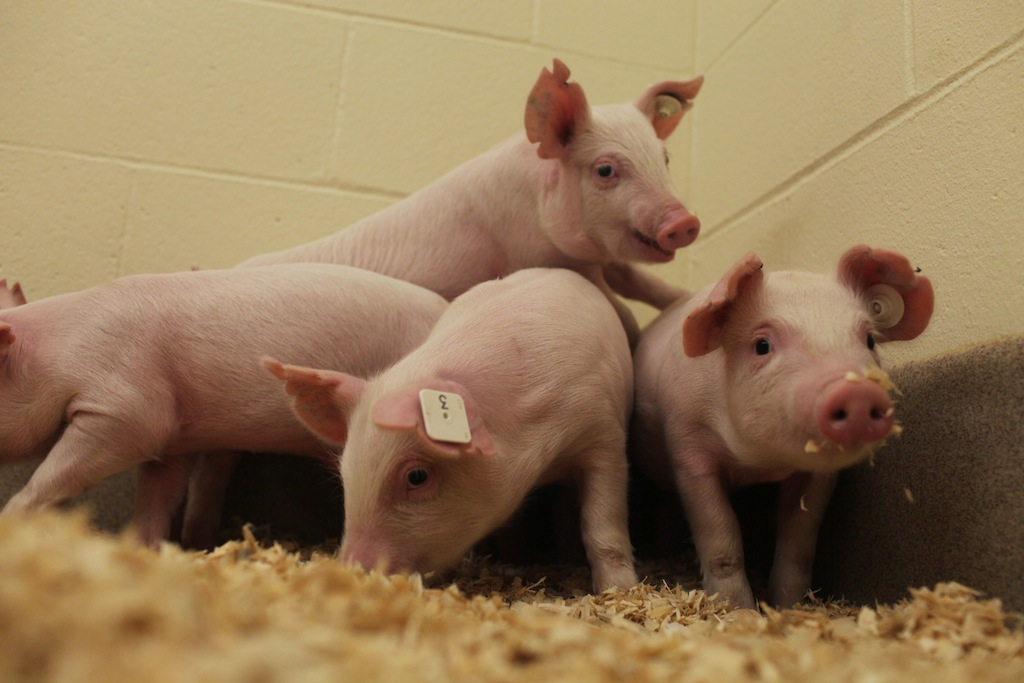 Pigs resistant to PRRS developed at University of Missouri ...