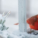 cardinal on snowy branch
