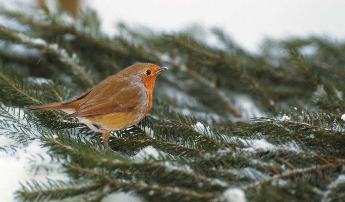 orange breasted bird on pine branch in snow