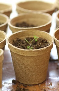 seedlings in containers