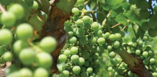 grapes growing on vine
