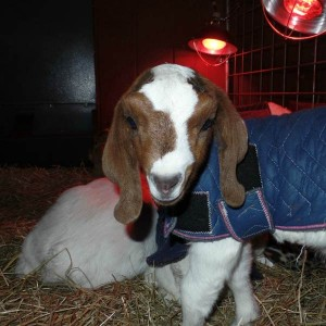 goat disbud successfully healed