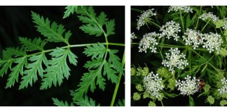 Poison hemlock header