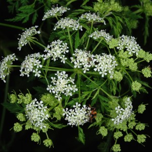 poison hemlock in bloom