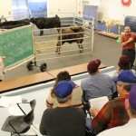buying cattle