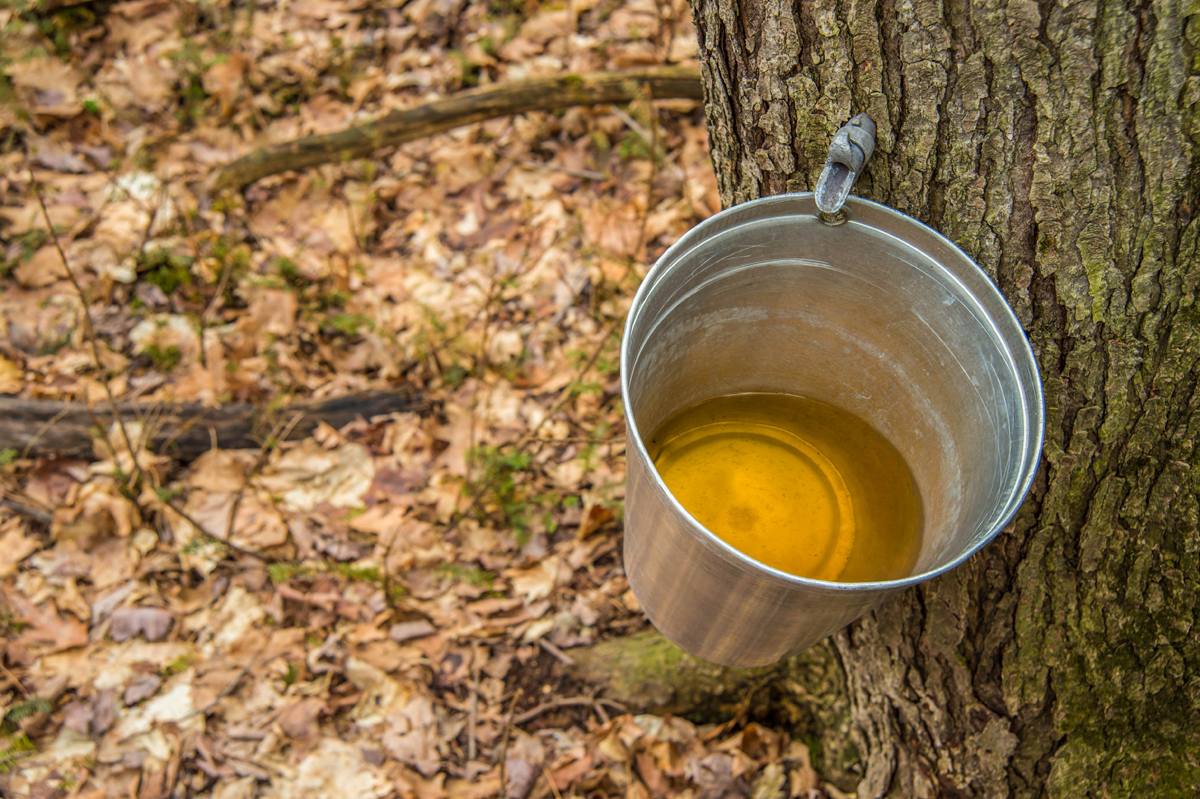 maple syrup collected from tree