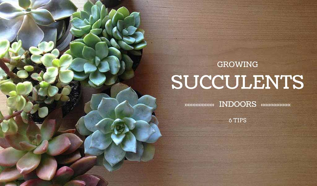6 tips for growing succulents indoors