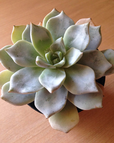 succulents with