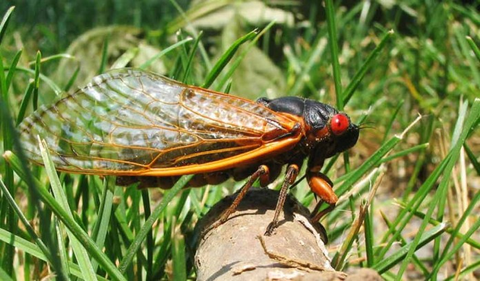 17-year cicada Brood X
