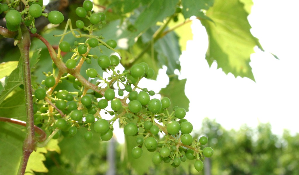 A Beginner S Guide To Growing Backyard Grapes Farm And Dairy