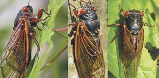Brood V cicadas will emerge in May in parts of Ohio, West Virginia and Pennsylvania.