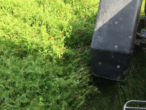 Mowing crimson clover and ryegrass Mike Rupp